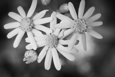 Yellow Daisies (Bellis perennis)