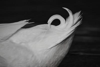 American Pekin (Anas platyrhynchos)