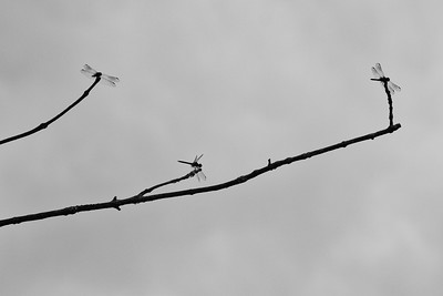 Three Dragonflies
