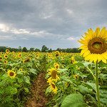 Sunflowers in Potomac Maryland