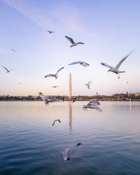 DC Birds Flocking around the Washington Monument
