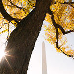 Fall Tree Around Washington Monument