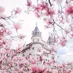Washington DC Pink Magnolias