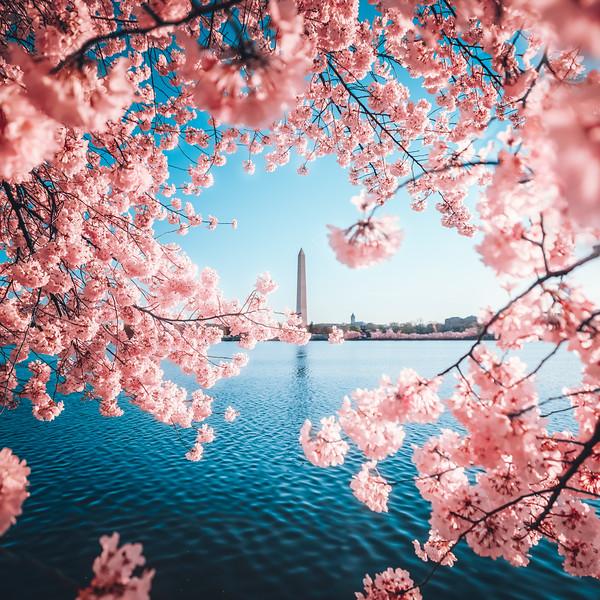 DC Cherry Blossom Peak Bloom Washington Monument