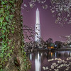 Washington Monument Sleeps behind Cherry Blossoms