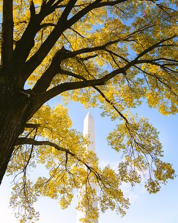 Fall Tree Around Washington Monument