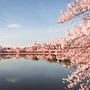 Cherry Blossom Trees in DC