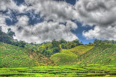 A landscape shot of a tea plantation in Cameron Highlands.