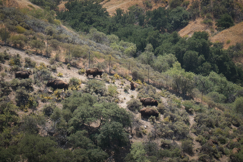 Bison herd on hillside below Hart Museum