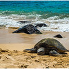 "The Hawaiian green sea turtles (honu), a ""Threatened Species,"" are making a comeback."