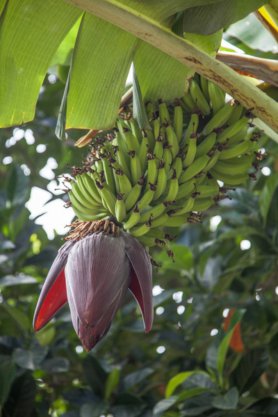 Bananas ....almost ready for harvest.