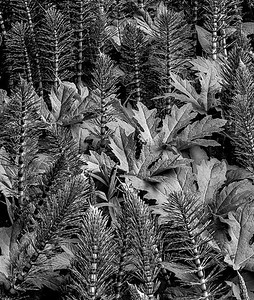 Horsetail Fern Black and White