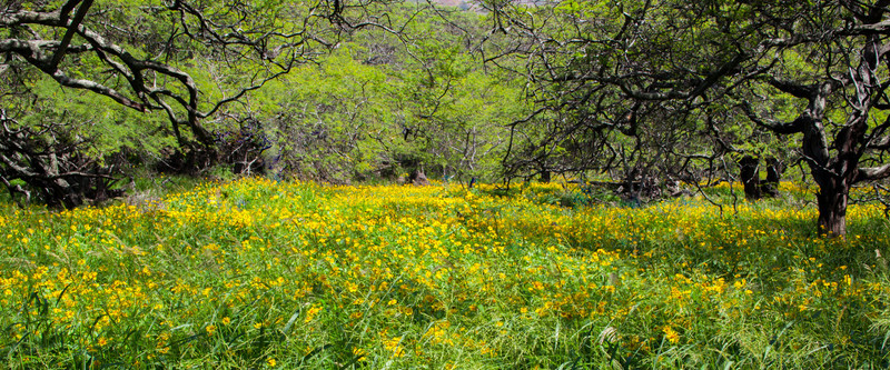 Field of yellow flowers....past Hana on the road to Kula.