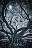 #NA1206 Molokai Banyan Tree
