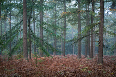 Pines in the mist