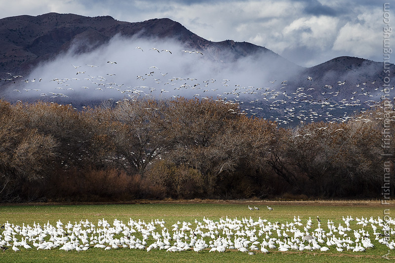 Snow geese on a cloudy morning, Bosque del Apache, New Mexico, January 2017.