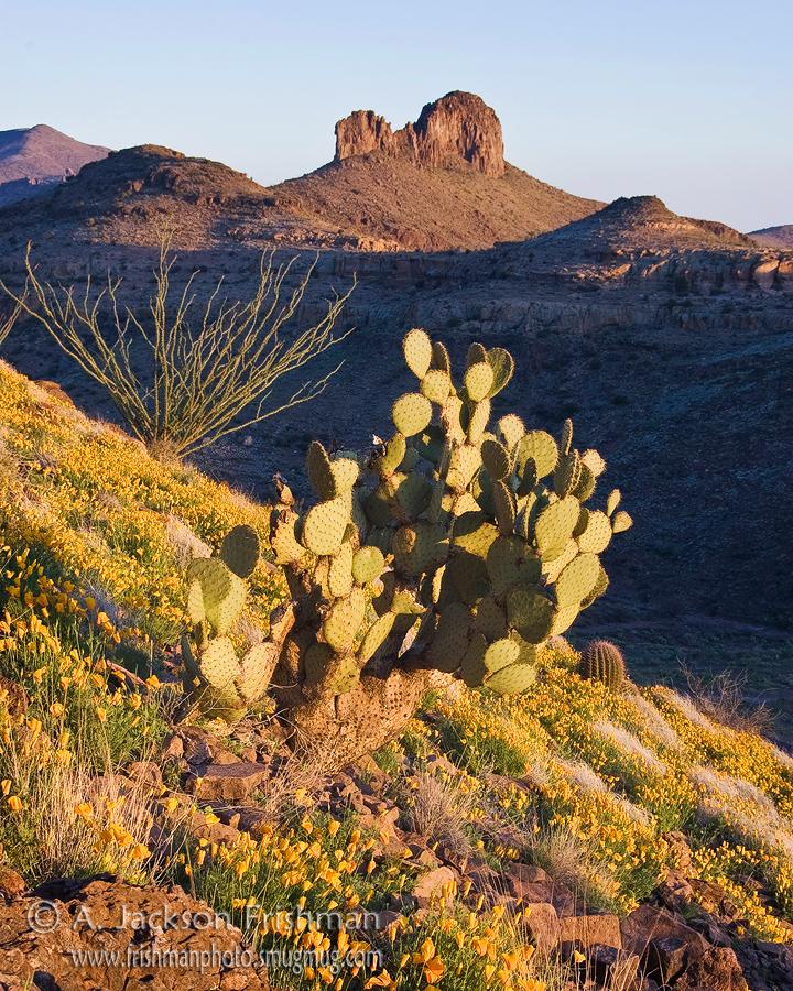 Spring poppy bloom in the Black Hills near Safford, Arizona, April 2010.