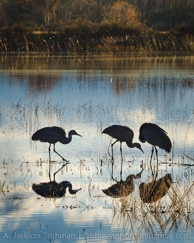 Three cranes, Bosque del Apache, New Mexico, January 2017.