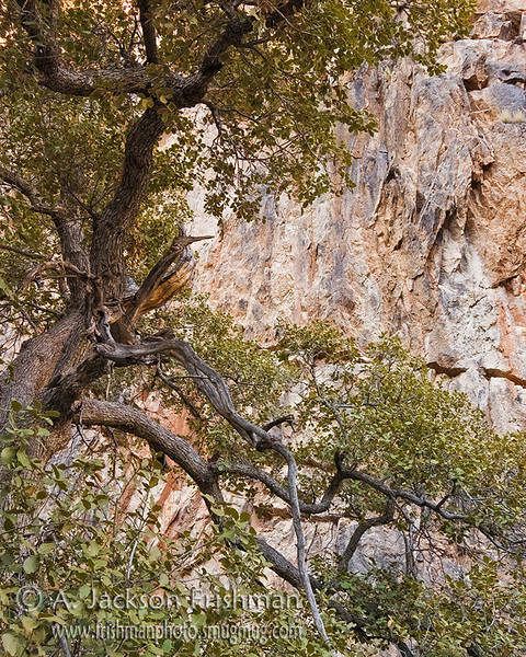 Oak tree in Indian Creek canyon, Apache Kid Wilderness, New Mexico, March 2010.