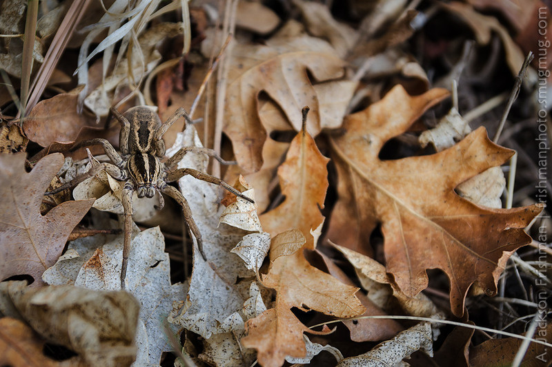 Spider in leaf litter, Gila Wilderness, New Mexico, March 2013.
