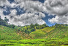 A landscape shot of a tea plantation in Cameron Highlands.