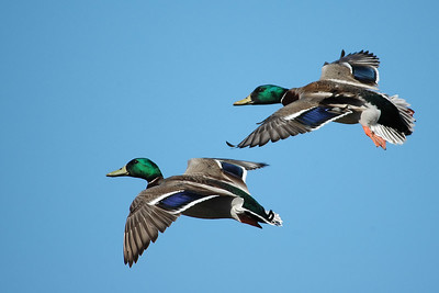 Male mallards in hot pursuit of a female.