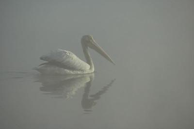 Pelican in fog