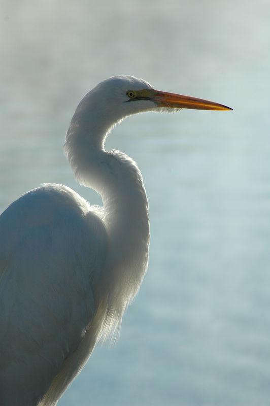 Great egret framed with morning mist (Sepulveda Basin Wildlife Reserve)