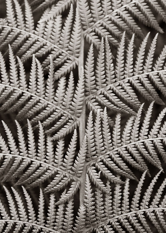 Fern macro - converted to B&W then colorized slightly to mimic a platinum effect.