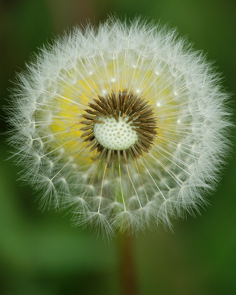 Dandelion over dandelion - old over new.