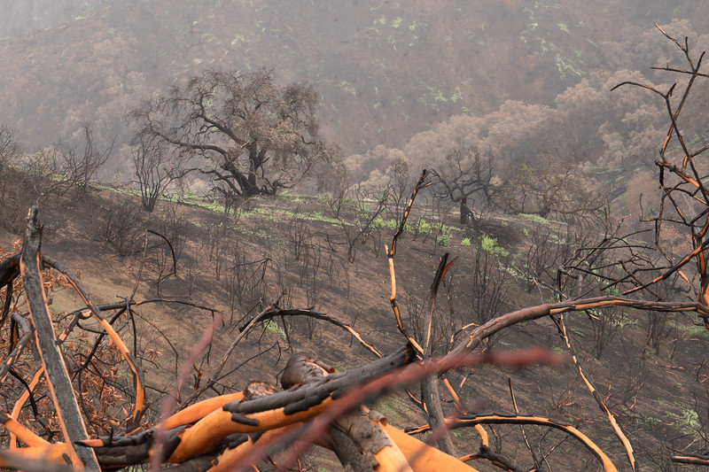 Hillside burned by the Thomas Fire