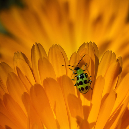 Beetle of a Different color.