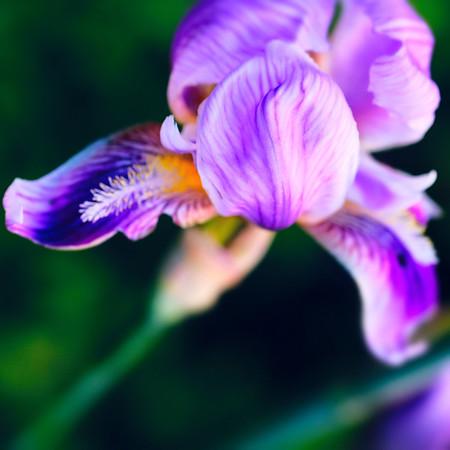Iris Dreams in Color