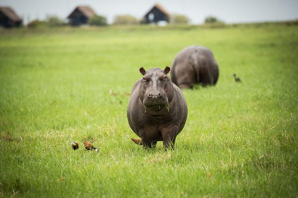 Baby Hippo   Botswana