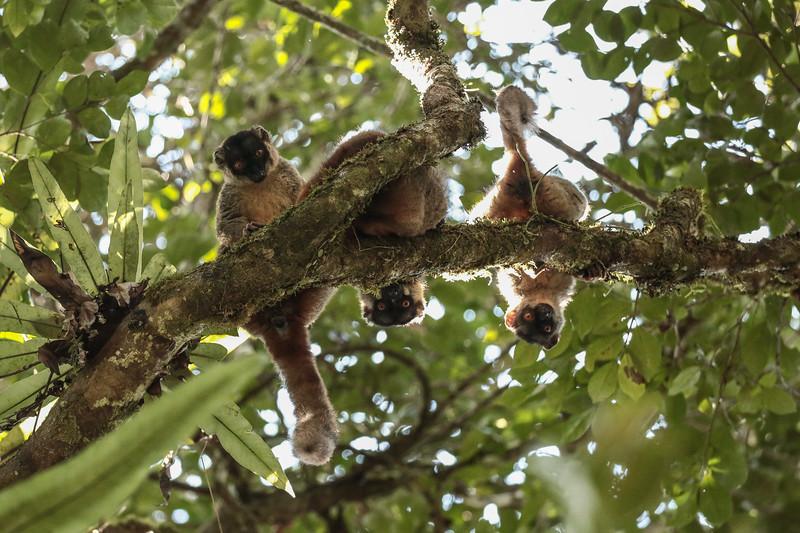 Common Brown Lemur | Madagascar