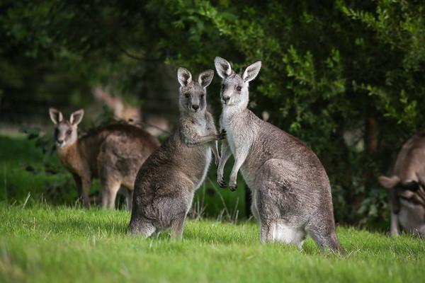 Eastern Grey Kangaroos | Australia