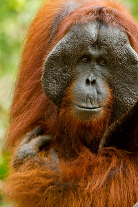 Orangutan | Tanjung Puting National Park