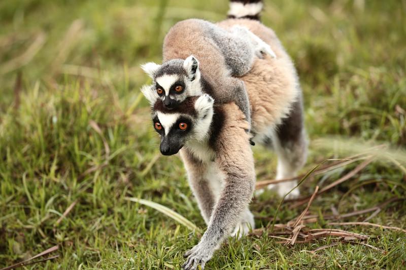Ringtail Lemurs | Madagascar