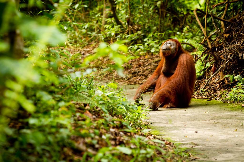 orangutan who loves the world | Borneo