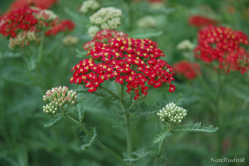 Yarrow in my Garden