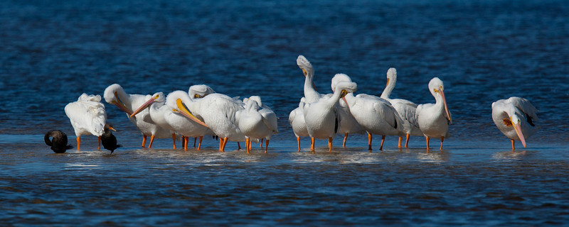 A Recent trip to Sanibel Island, Florida afforded some great picures but this of the White Pelicans is my favorite.
