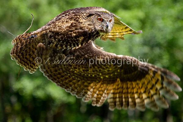 A rehabilitated Eurasian Eagle Owl in flight