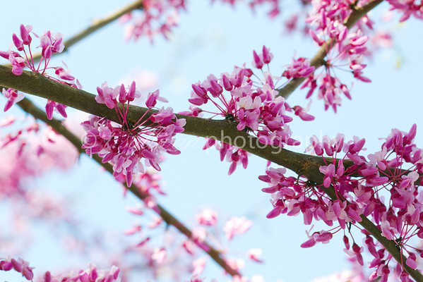 Eastern Redbud in bloom against a blue spring sky