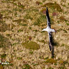 Southern Royal Albatross<br /> Southern Royal Albatross, wingspan almost 3.5m (11ft), flying over New Zealand's sub-antarctic Campbell Island