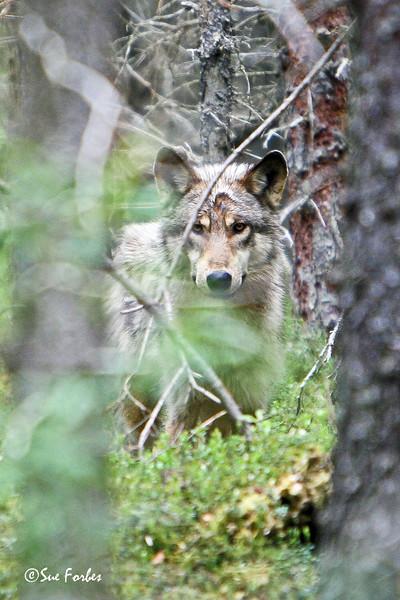 I see you!<br /> Wolf checking me out, near Brooks River, Katmai peninsula, Alaska