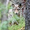 I see you!<br /> Wolf checking me out, near Brooks River, Katmai peninsula, Alaska