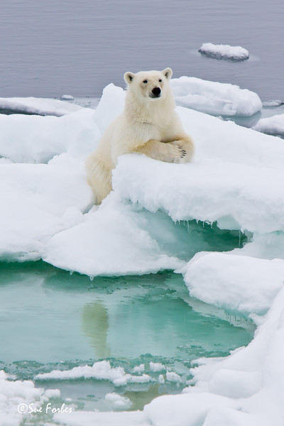 Polar Bear (ursus maritimus) sitting expectantly, Sorporten, Svalbard, Norway