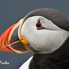 Puffin (Fratercula Arctica), Sumburgh Head, Shetland Is