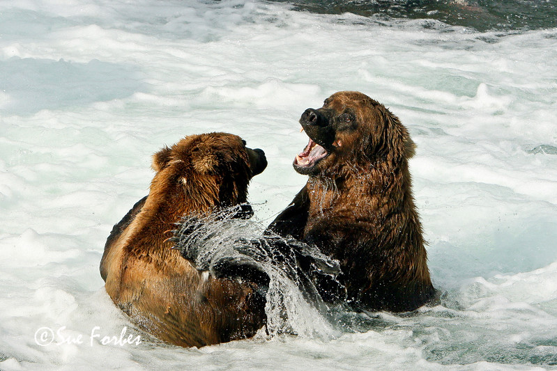 Its MY fishing spot!<br /> Grizzly bears fighting for key fishing positions in the Brooks River, Katmai, Alaska