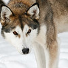 Alaskan Husky eyes<br /> The intensity of an Alaskan Huskies eyes, Boundary Waters, Minnesota